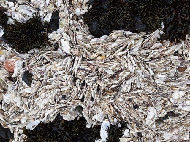 Aangespoelde oesterschelpen bij Pointe de Kerazic in Bretagne
