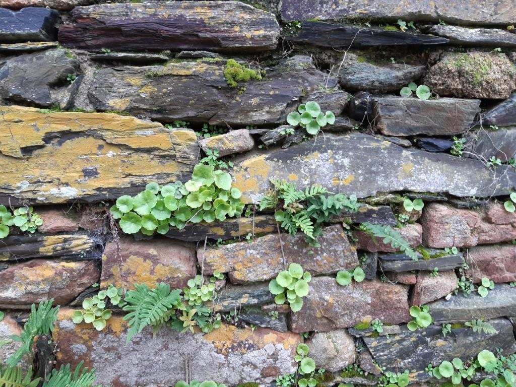 Abbaye de Beauport muur met plantjes Côte du Goëlo Bretagne