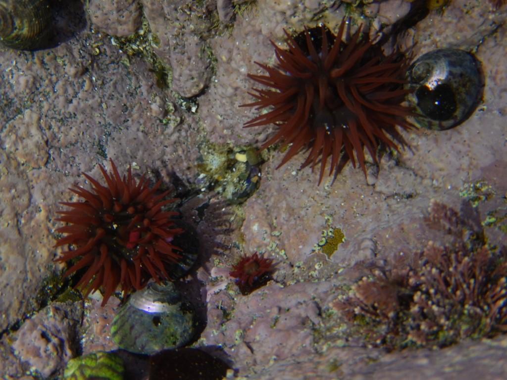 Plage Bonaparte Côte du Goëlo Bretagne anemonen