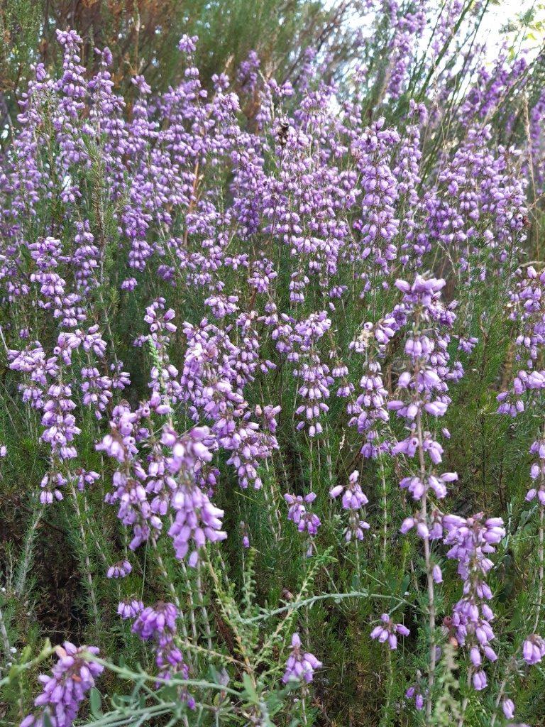 Lavendel Barrage de Castelnau Aveyron