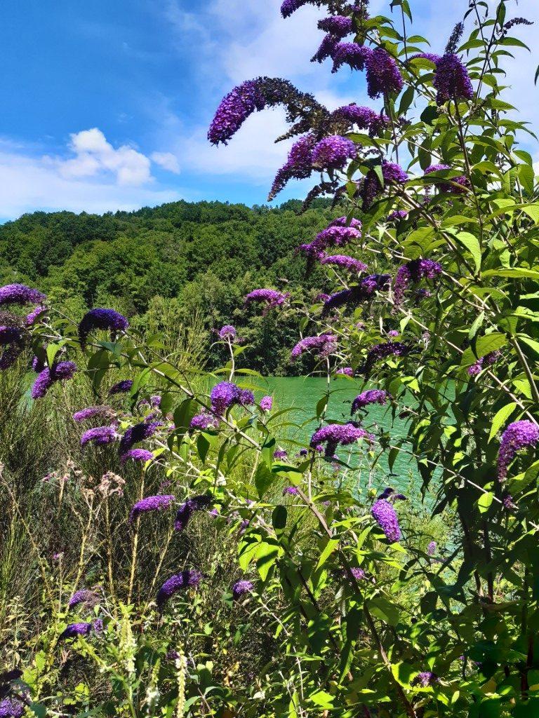 Vlinderstruik Barrage de Castelnau Aveyron